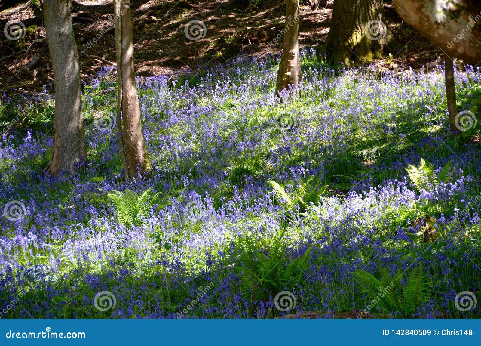 Bois de jacinthe des bois