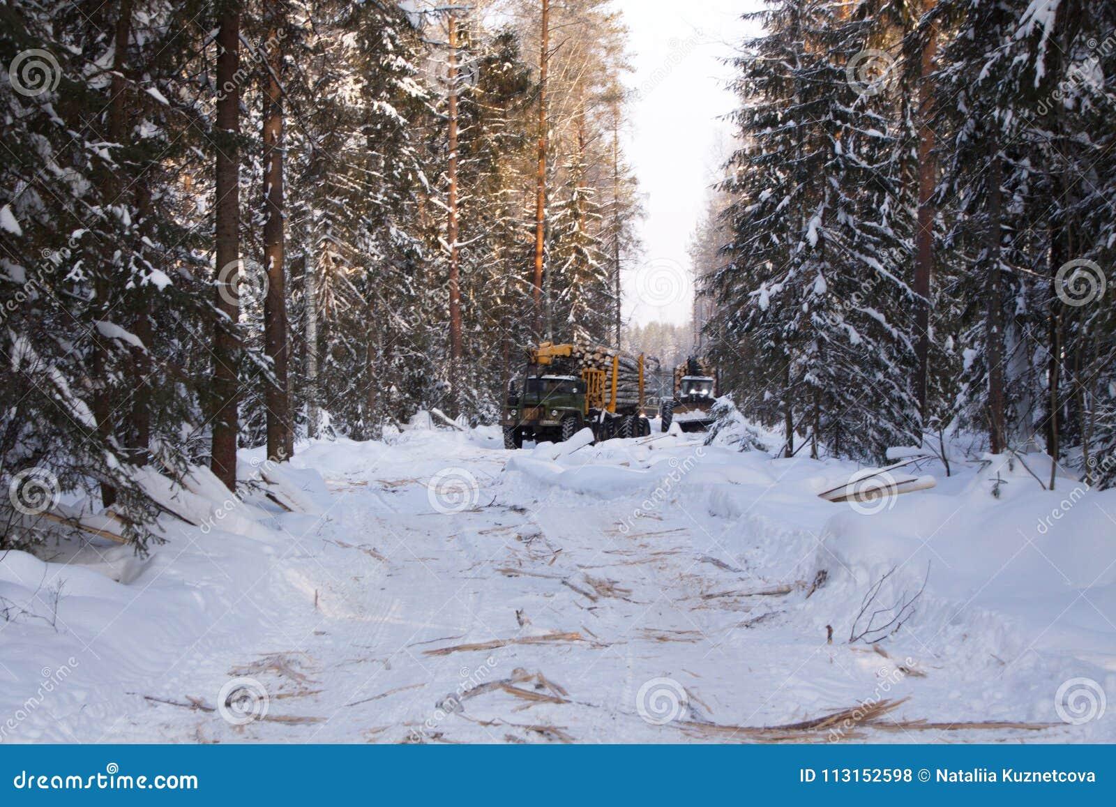 Bois de notation dans le pin de paysage de forêt d hiver