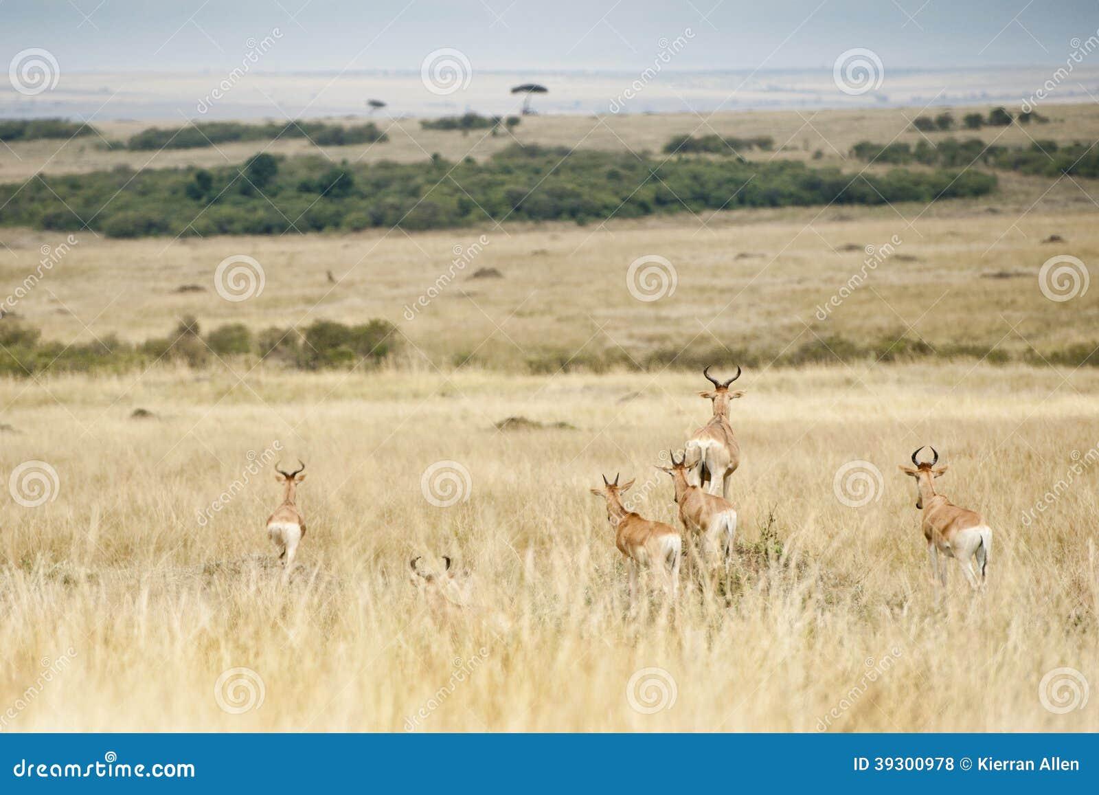 Bok die roofdieren in Masai Mara, Kenia opmerken