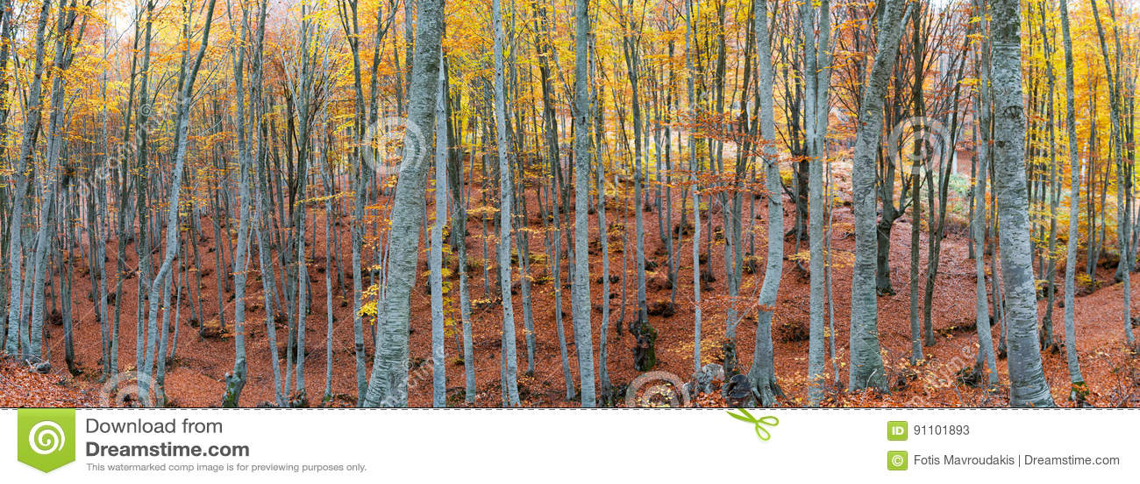 Bokträdskog i höst
