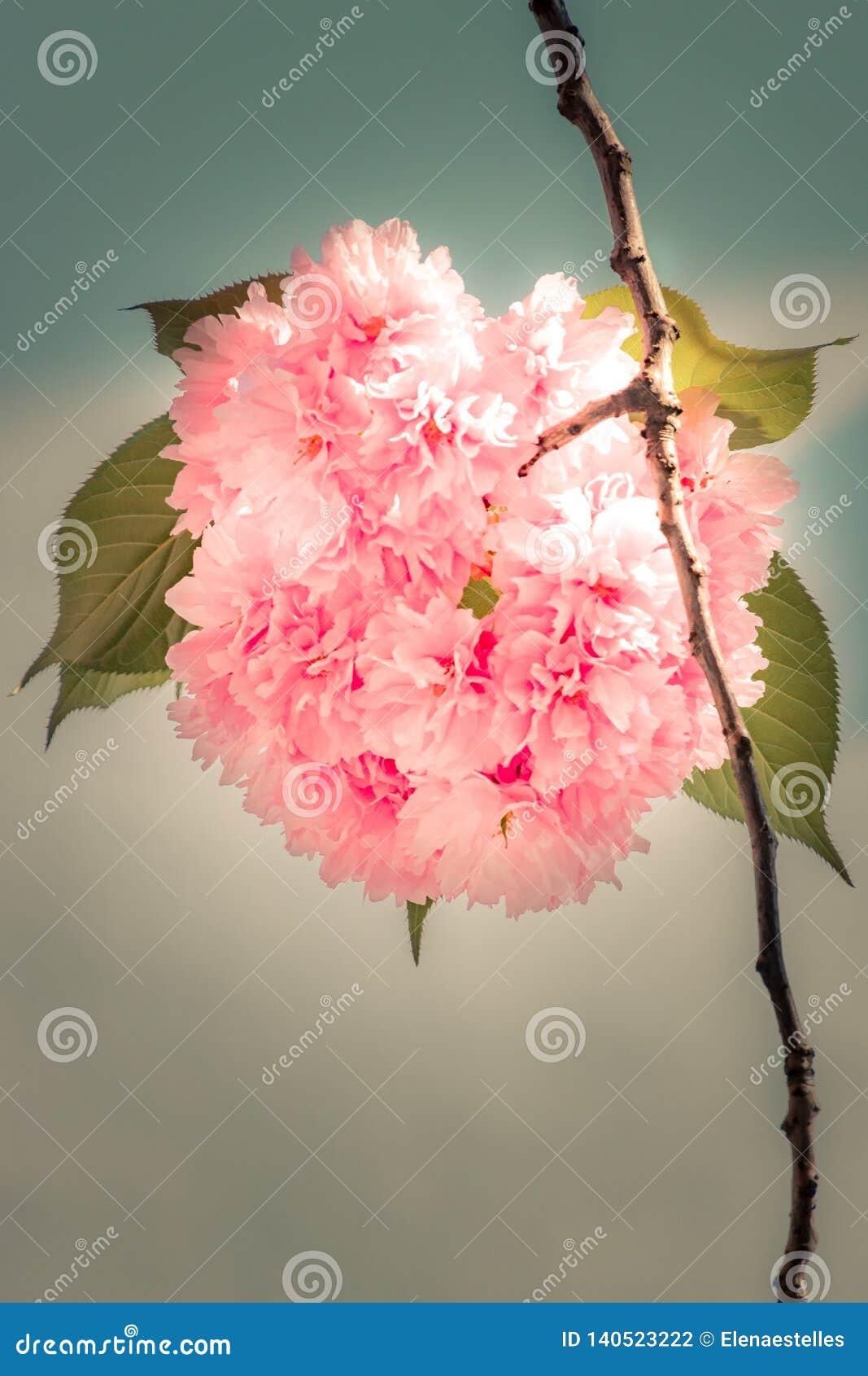 Bola de la flor de cerezo