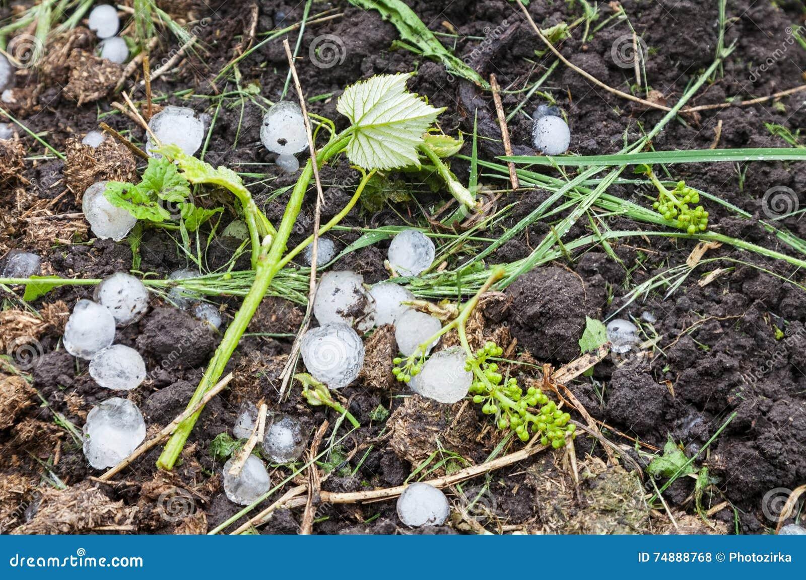 Bolas de gelo da saraiva no vinhedo
