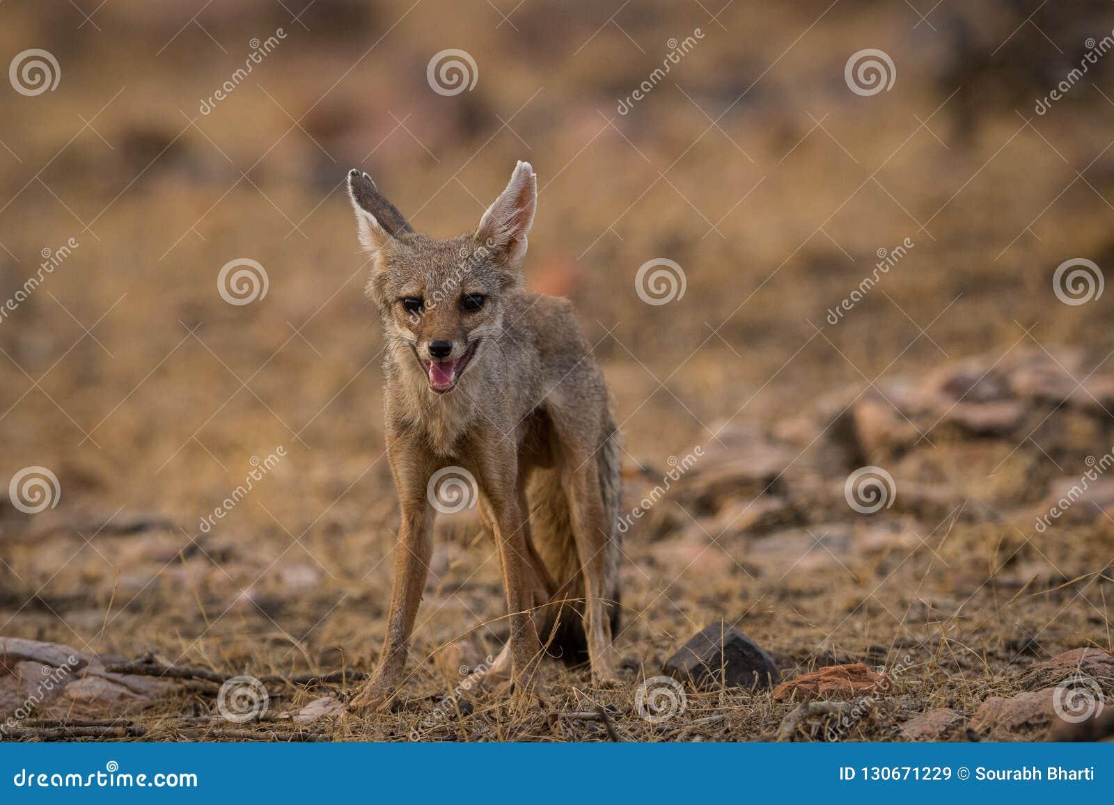 A bold indian fox pup Vulpes bengalensis