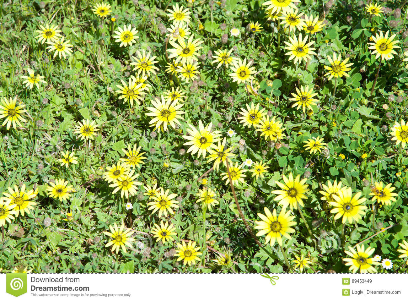 Bold Park Ground Cover Stock Image Image Of Cluster 89453449