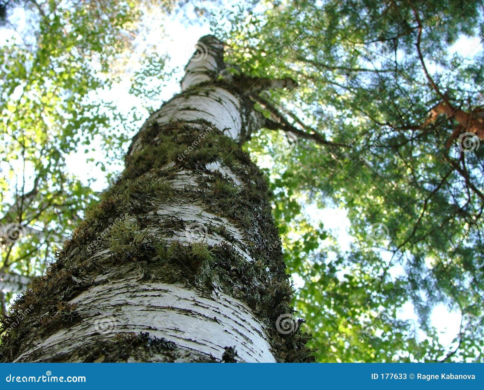 Bole di una fine dell albero di betulla in su