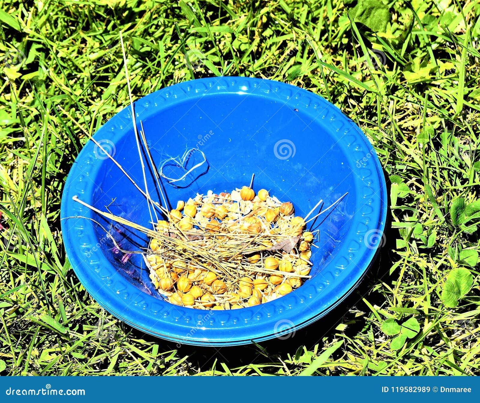 Bolls семени льна от завода льна в голубом шаре