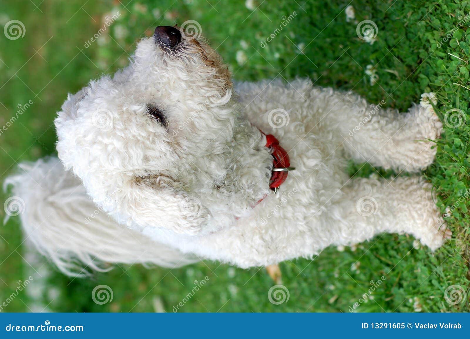 Bolognese Hund