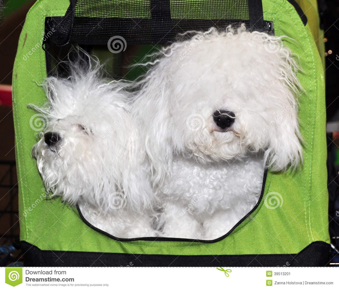 Bologneses dogs in bag