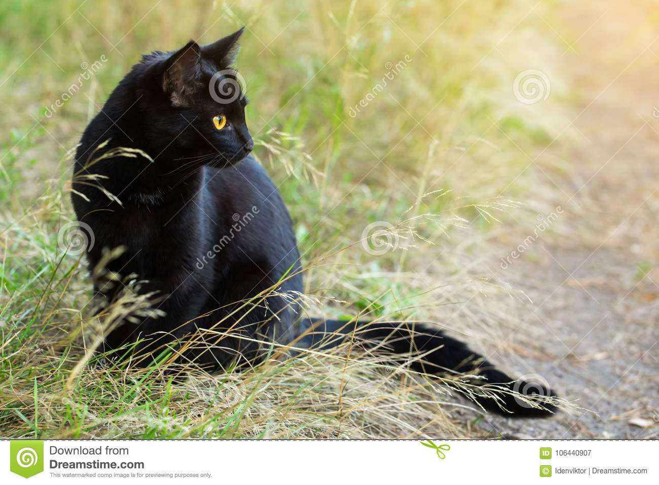 Bombay black cat in profile with yellow eyes in nature.
