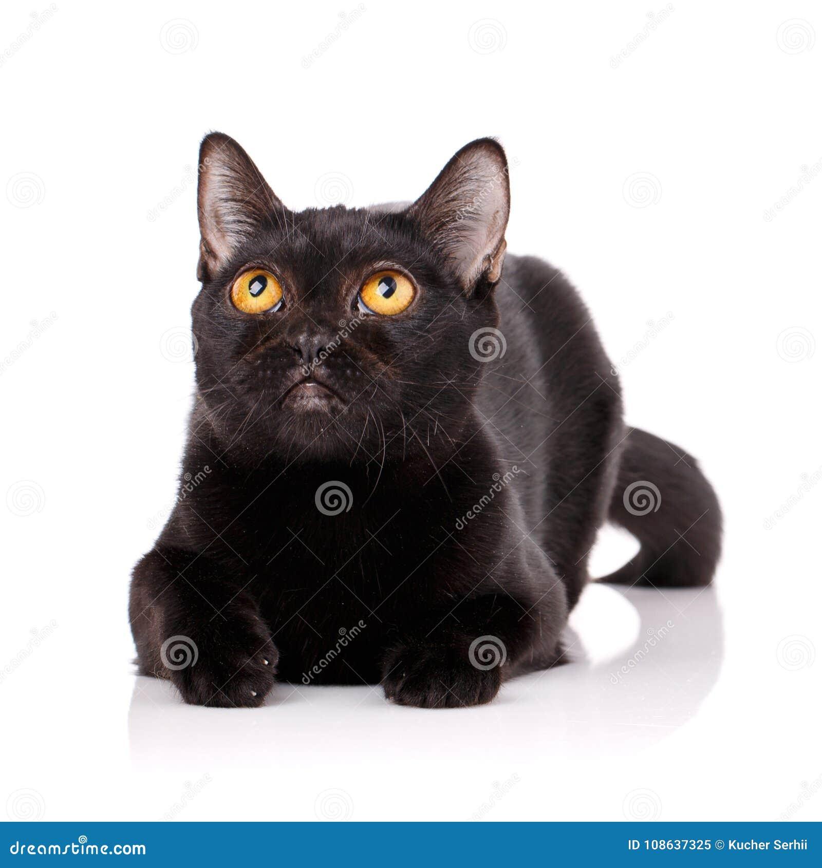 Bombay czarny kot z kolorem żółtym przygląda się lying on the beach na białym tle,