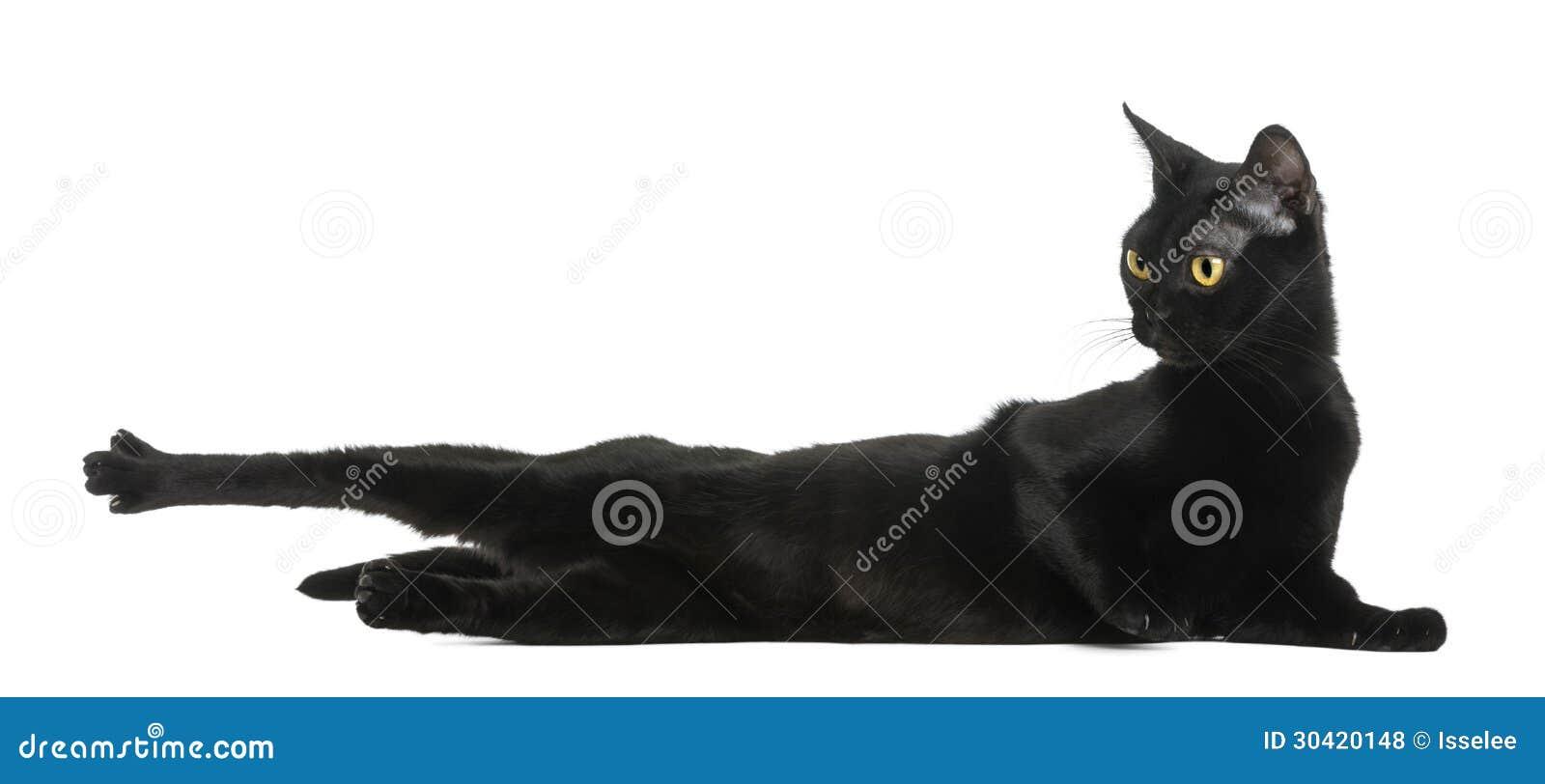Bombay katt som bort ligger, sträcker och ser
