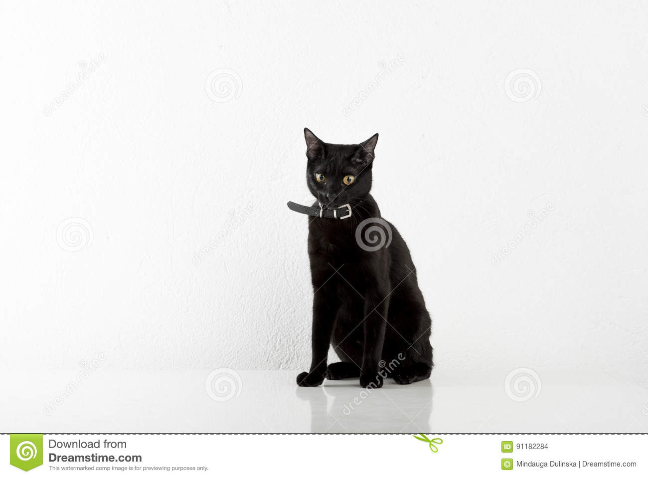 Noircat Bombay Noir Cat Sitting Sur Le Fond Blanc Photo