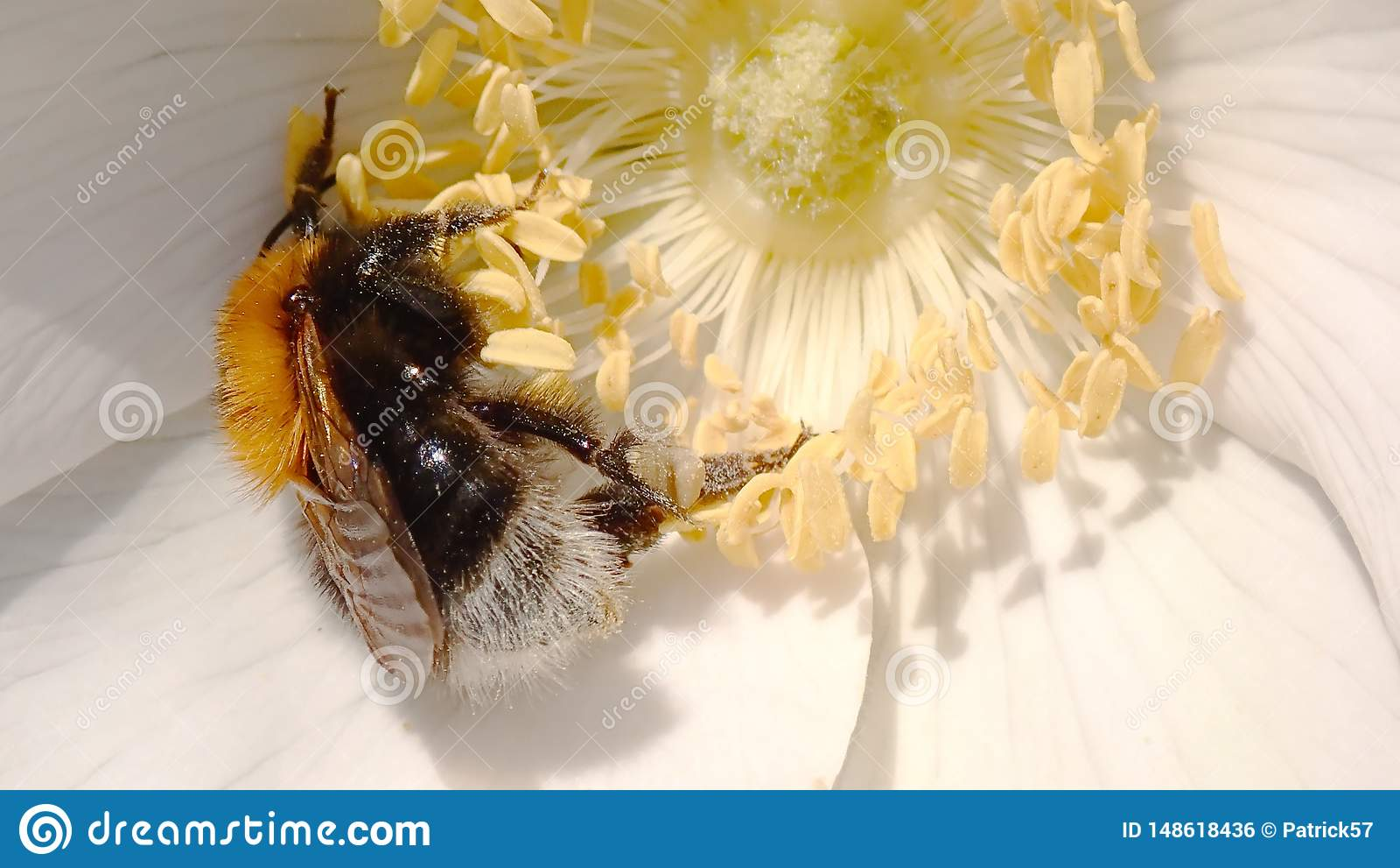 Bombus hypnorum or Tree Bumble Bee.