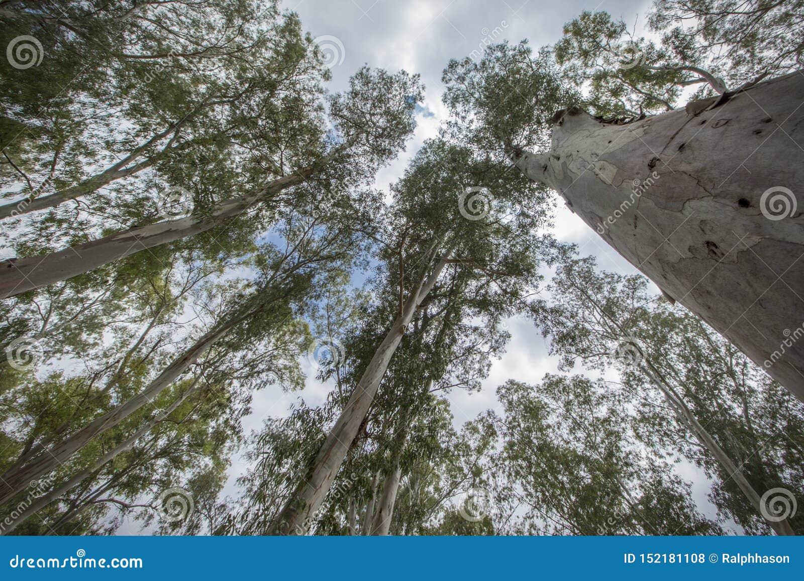 Bomen die naar de hemel streven