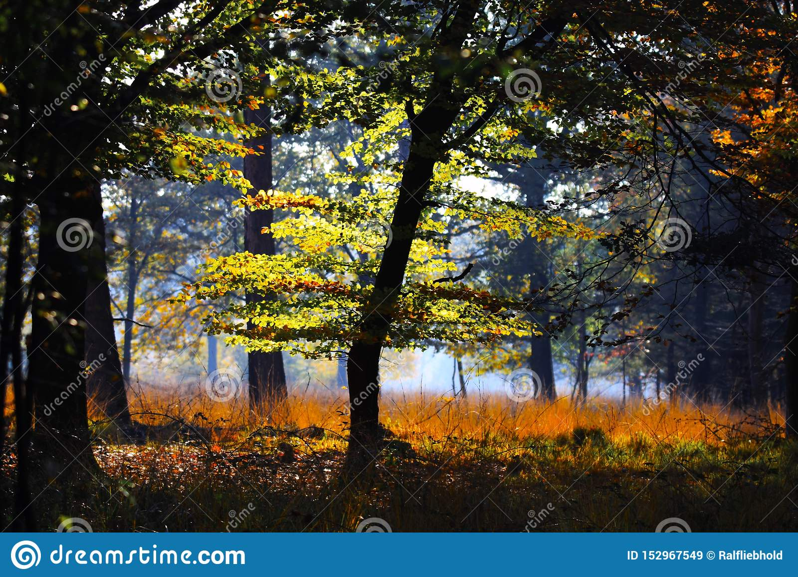 Bomen en weide in een geïsoleerde opheldering van Duitse bos het gloeien heldere gouden in de zon van de middagherfst - Brüggen,