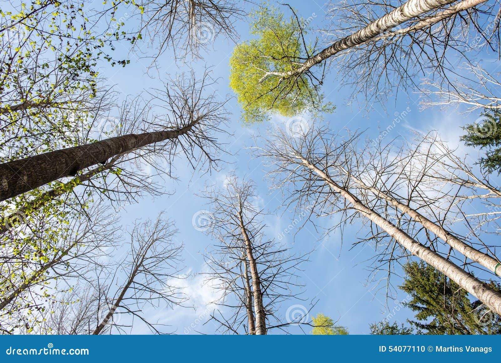 Bomen in het bos - de kroon van bladeren tegen de hemel