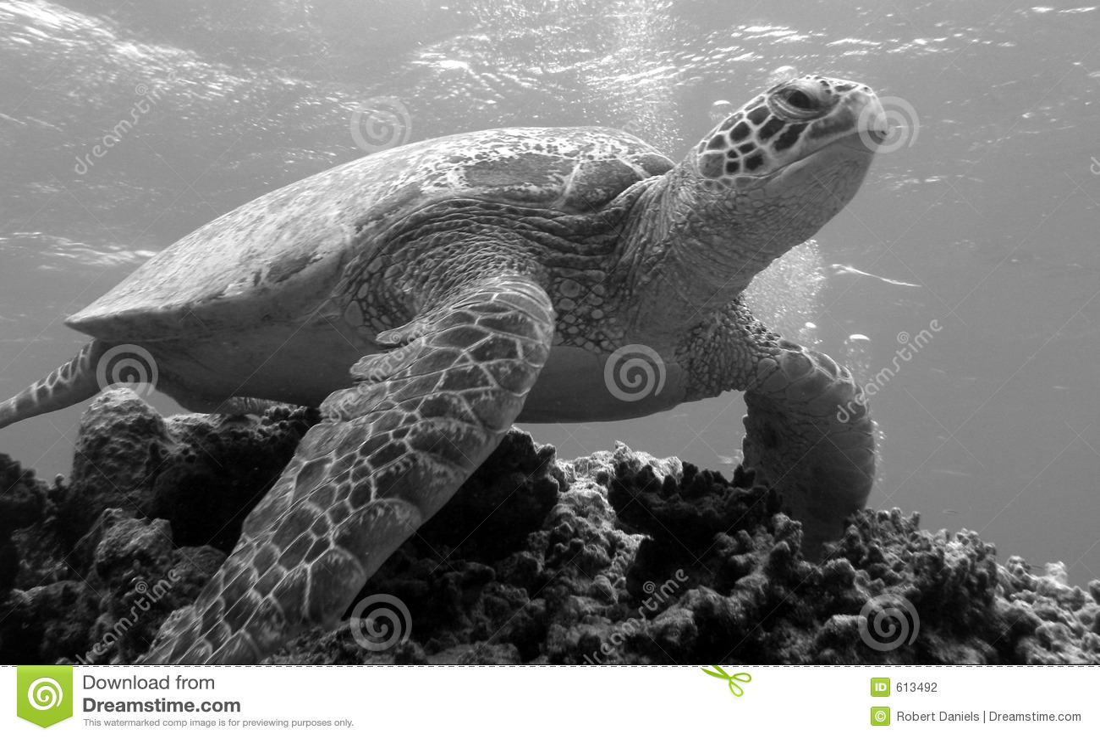 Bommie乌龟