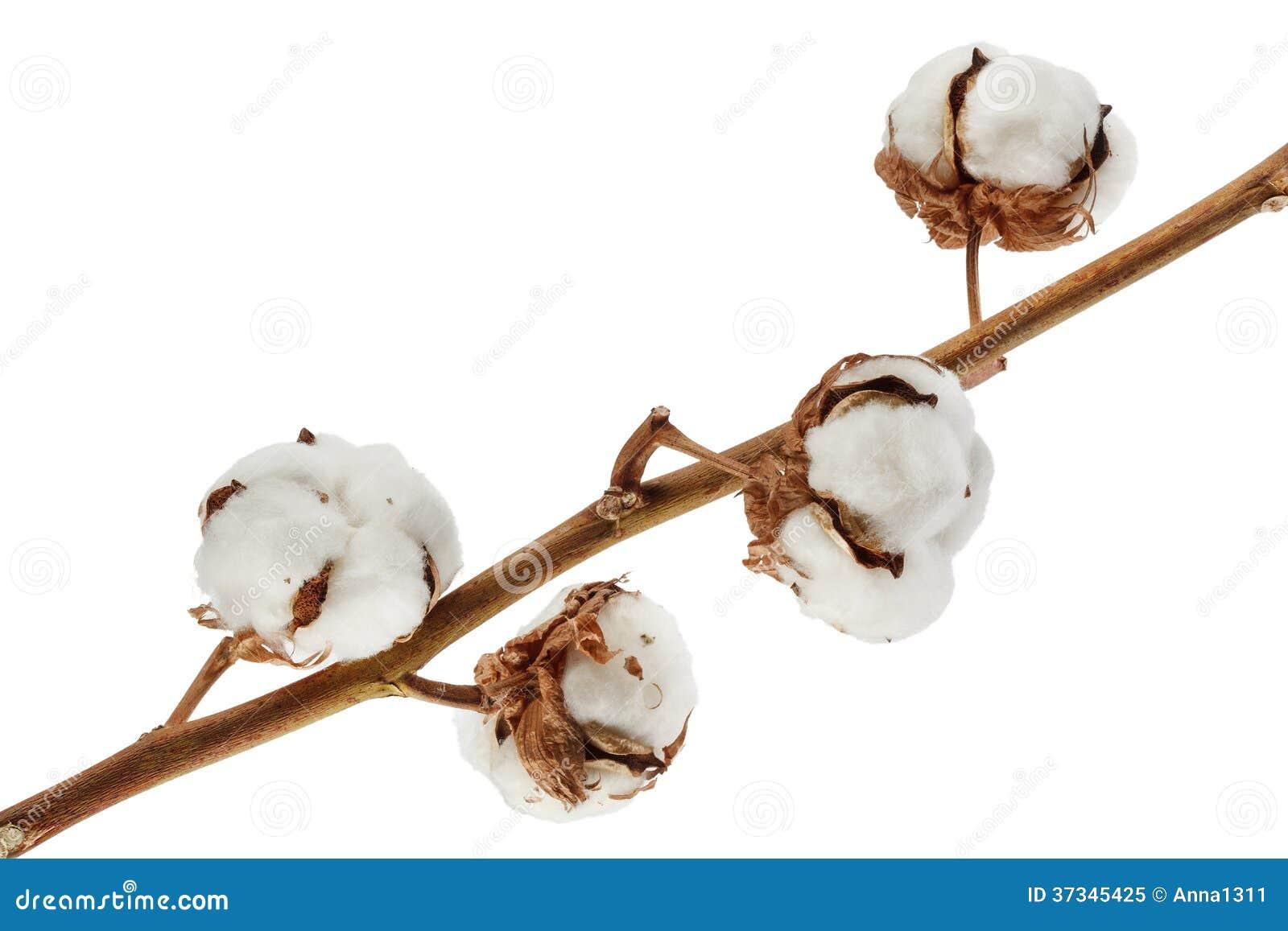 Bomull som isoleras på vit