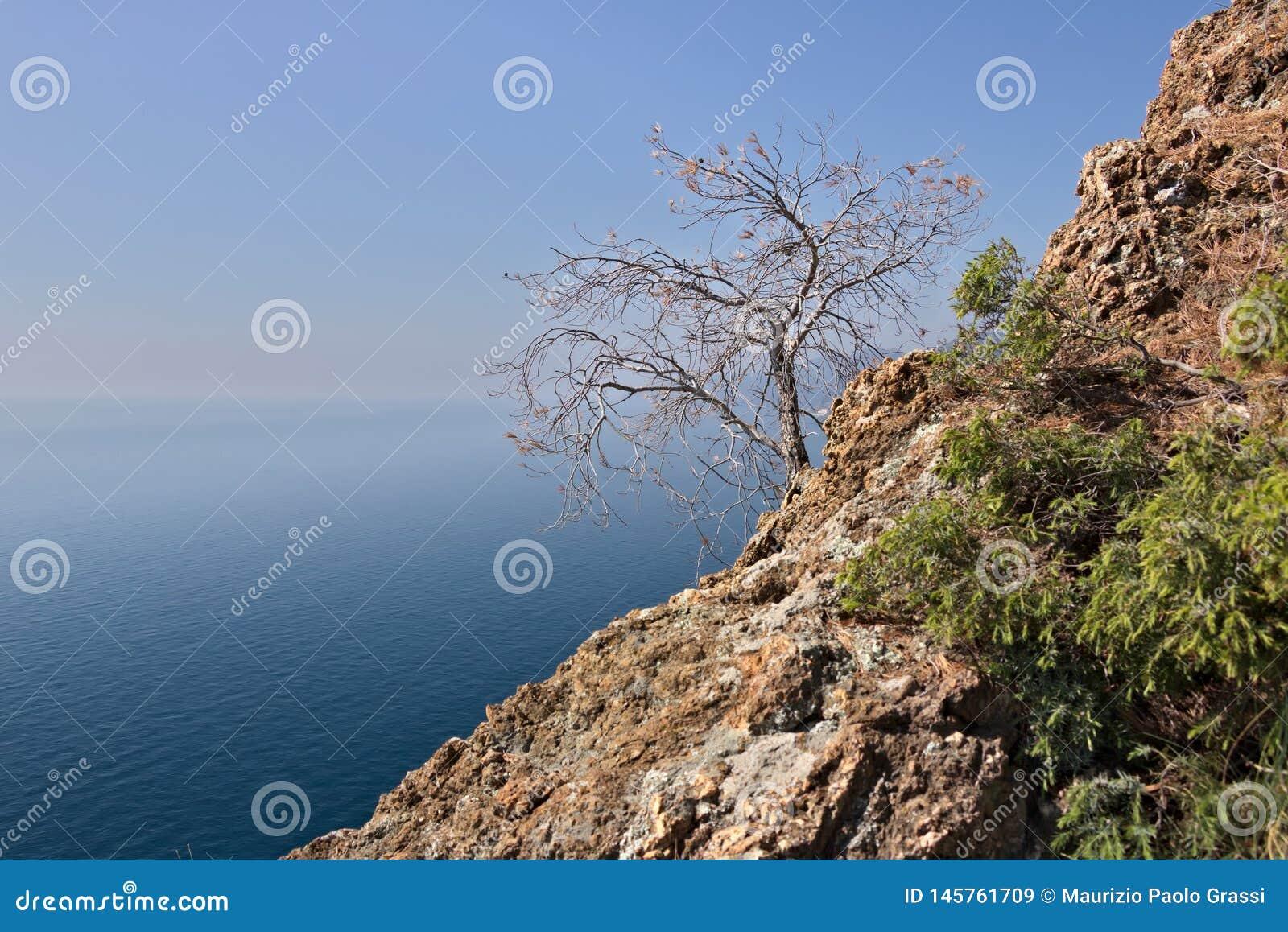 Bonassola nära Cinque Terre Ett litet träd som uthärdas på klippan