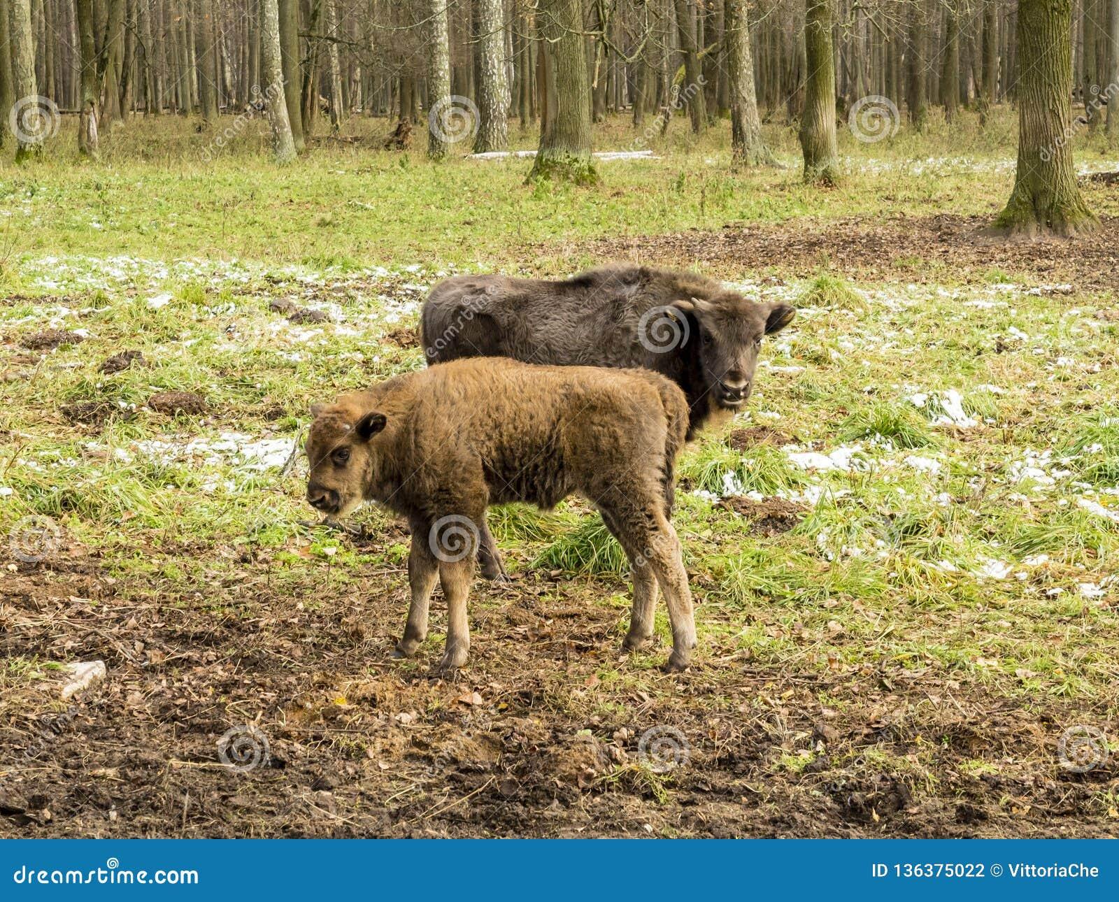 Bonasus europeo del bisonte de los bisontes, animales jovenes, aurochs en el bosque