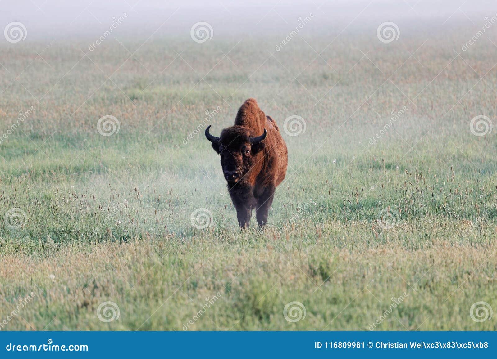 Bonasus europeo del bisonte del toro del bisonte sul prato nel primo mattino e con nebbia