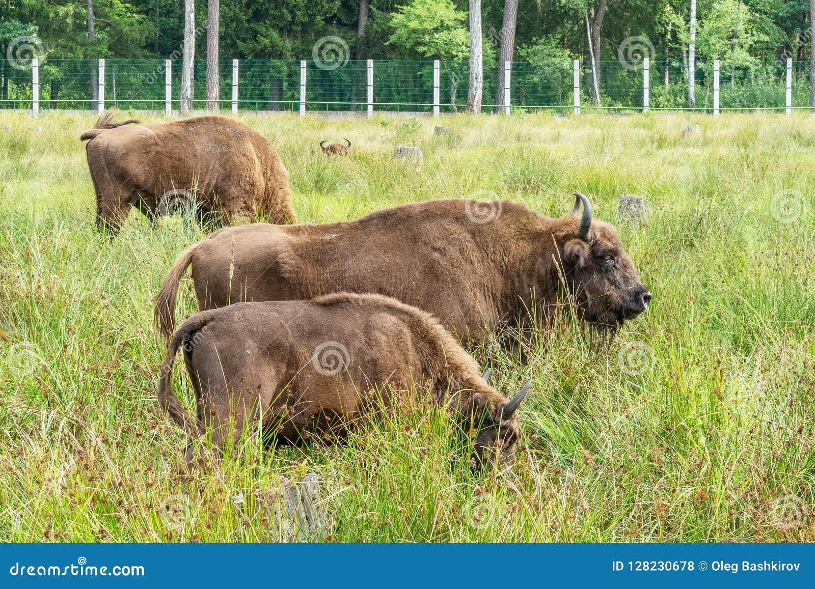 Bonasus europeo n del iBison de los bisontes su hábitat natural