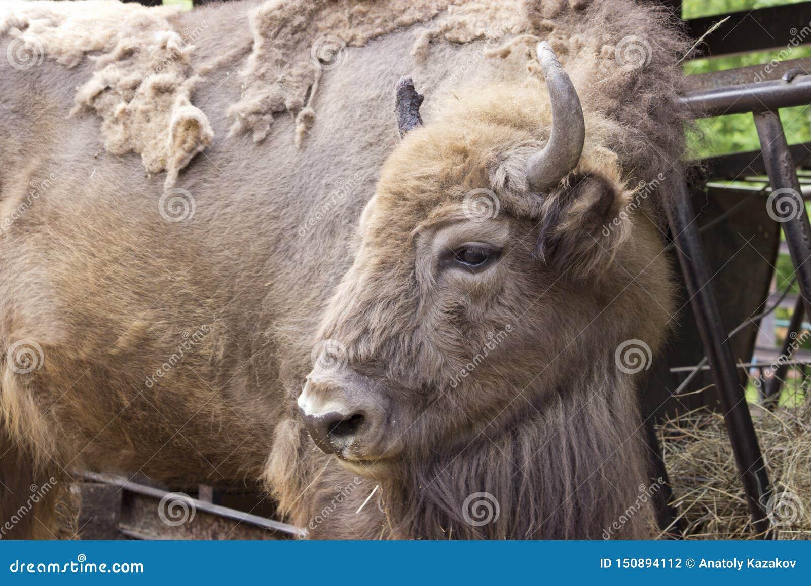 Bonasus Mamífero-europeo del bisonte del bisonte en el verano