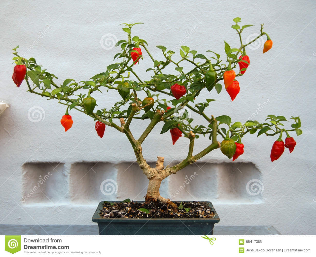 Bonchi Chili Pepper Plant Stock Image Image Of Pepper 66417365