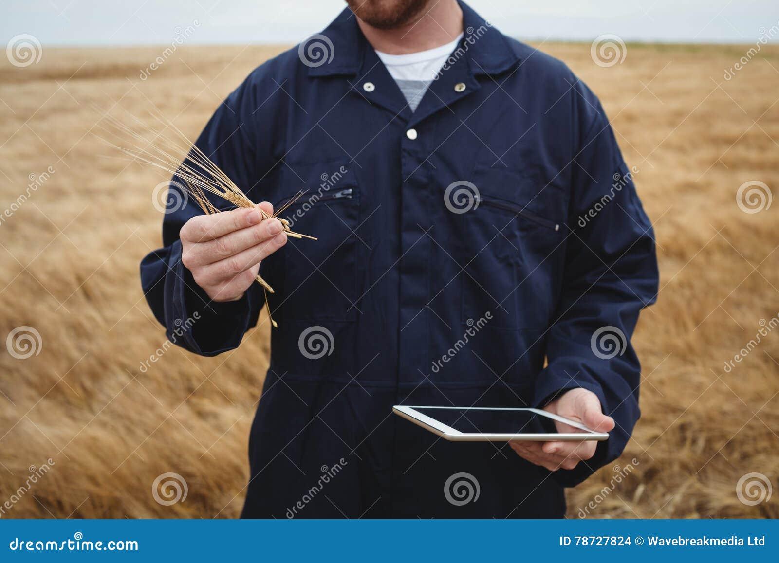 Bonde som kontrollerar öron av vete, medan genom att använda den digitala minnestavlan i fältet
