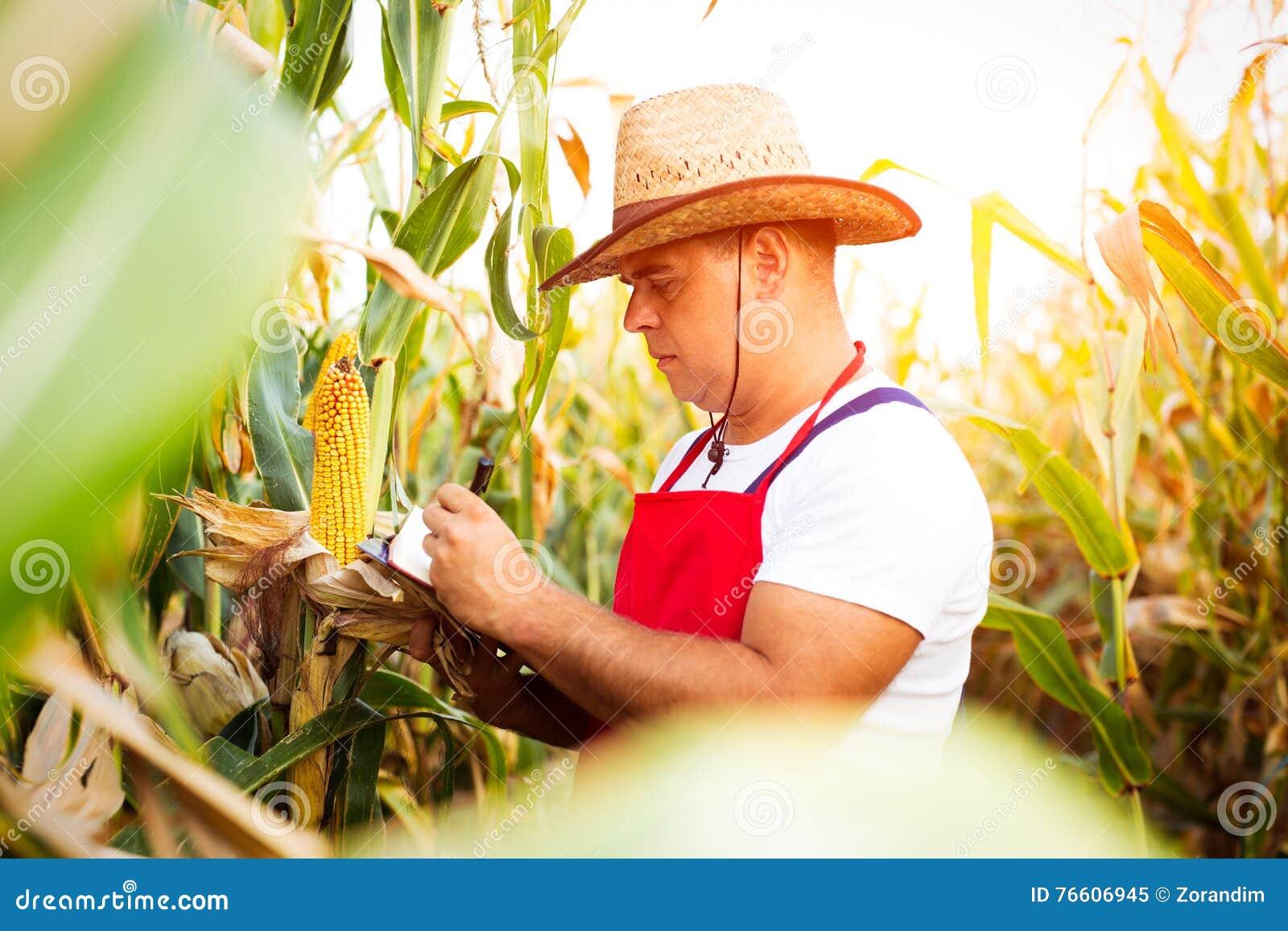 Bonde som kontrollerar hans cornfield