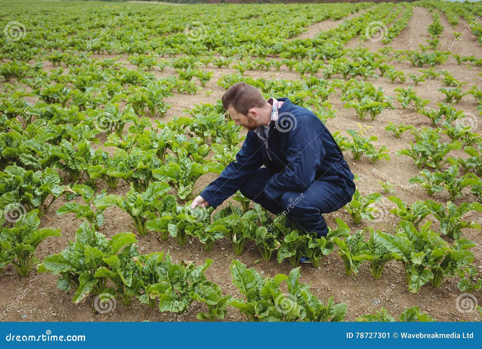 Bonde som kontrollerar hans skördar i fältet