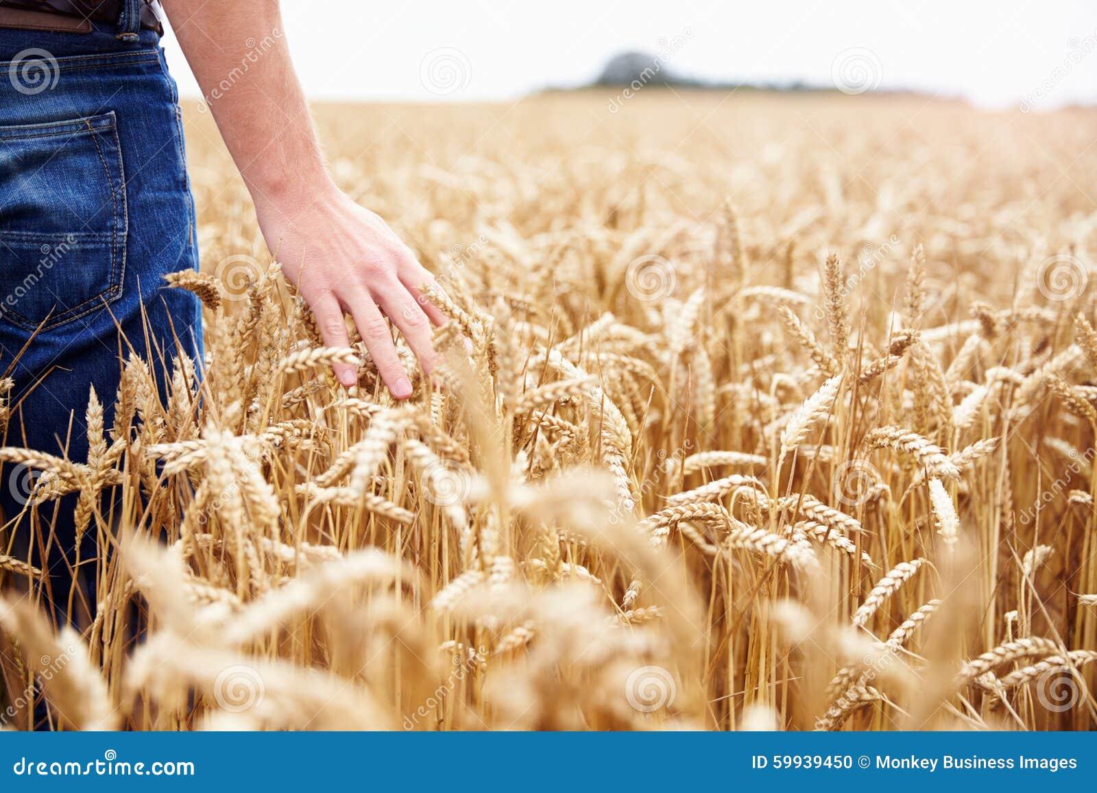 Bonde Walking Through Field som kontrollerar veteskörden