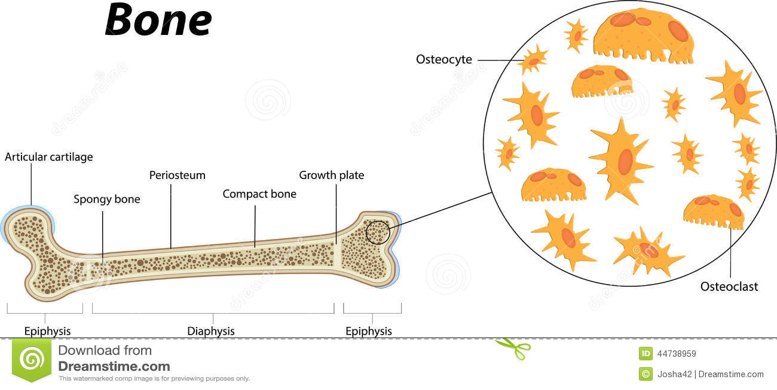 Bone Biology And Anatomy Stock Vector Illustration Of Spongy 44738959