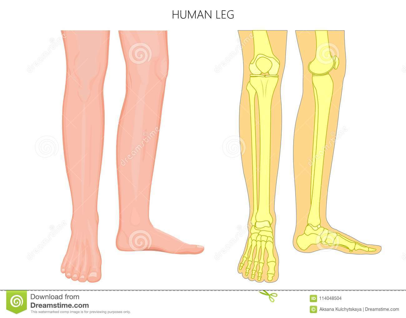 vector illustration anatomy of human legs and diagram of human bones  isolated on white background  for advertising and medical publications  eps  10
