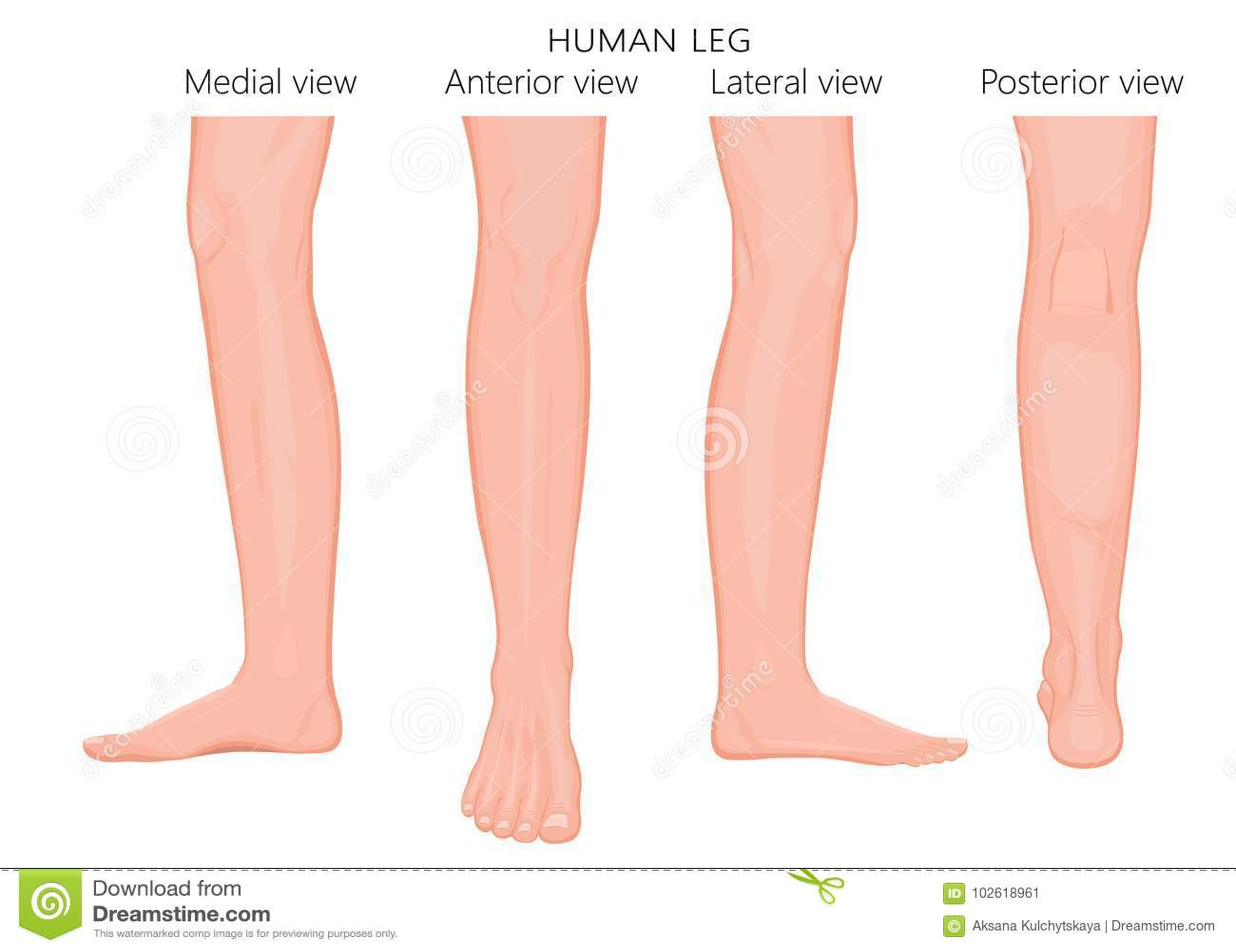 Bone Fracture_Leg Anatomy European Stock Vector - Illustration of ...
