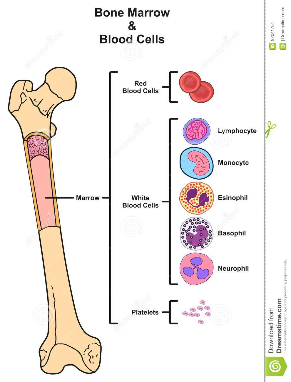 bone marrow & blood cells infographic diagram including femur reproduction  of red white blood cells platelets lymphocyte monocyte esinophill basophill