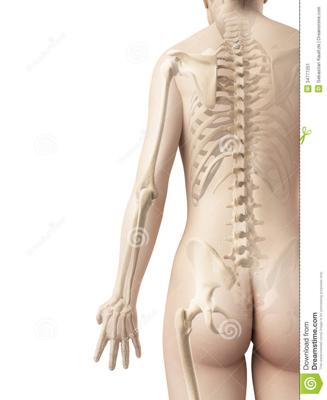 Bones Of The Arm Stock Illustration Illustration Of Ulna 34777251