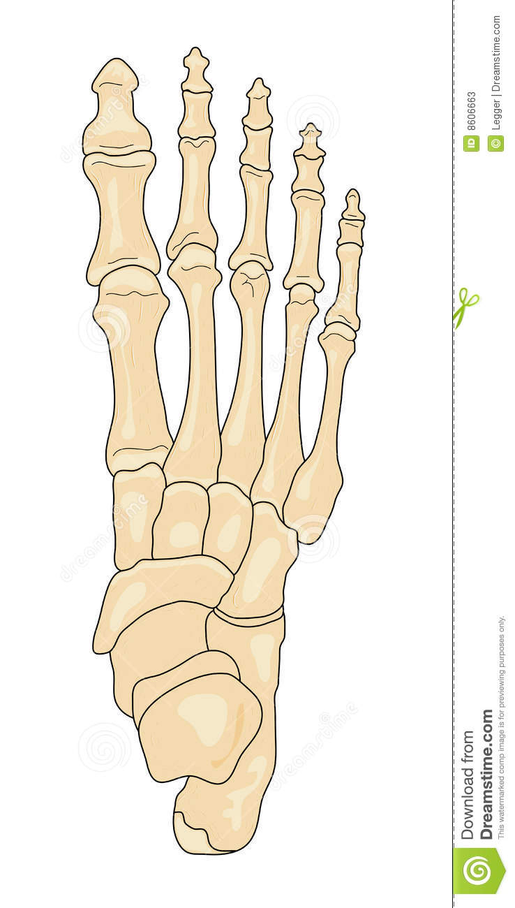 Bones of the Foot stock vector. Illustration of cuboid - 8606663