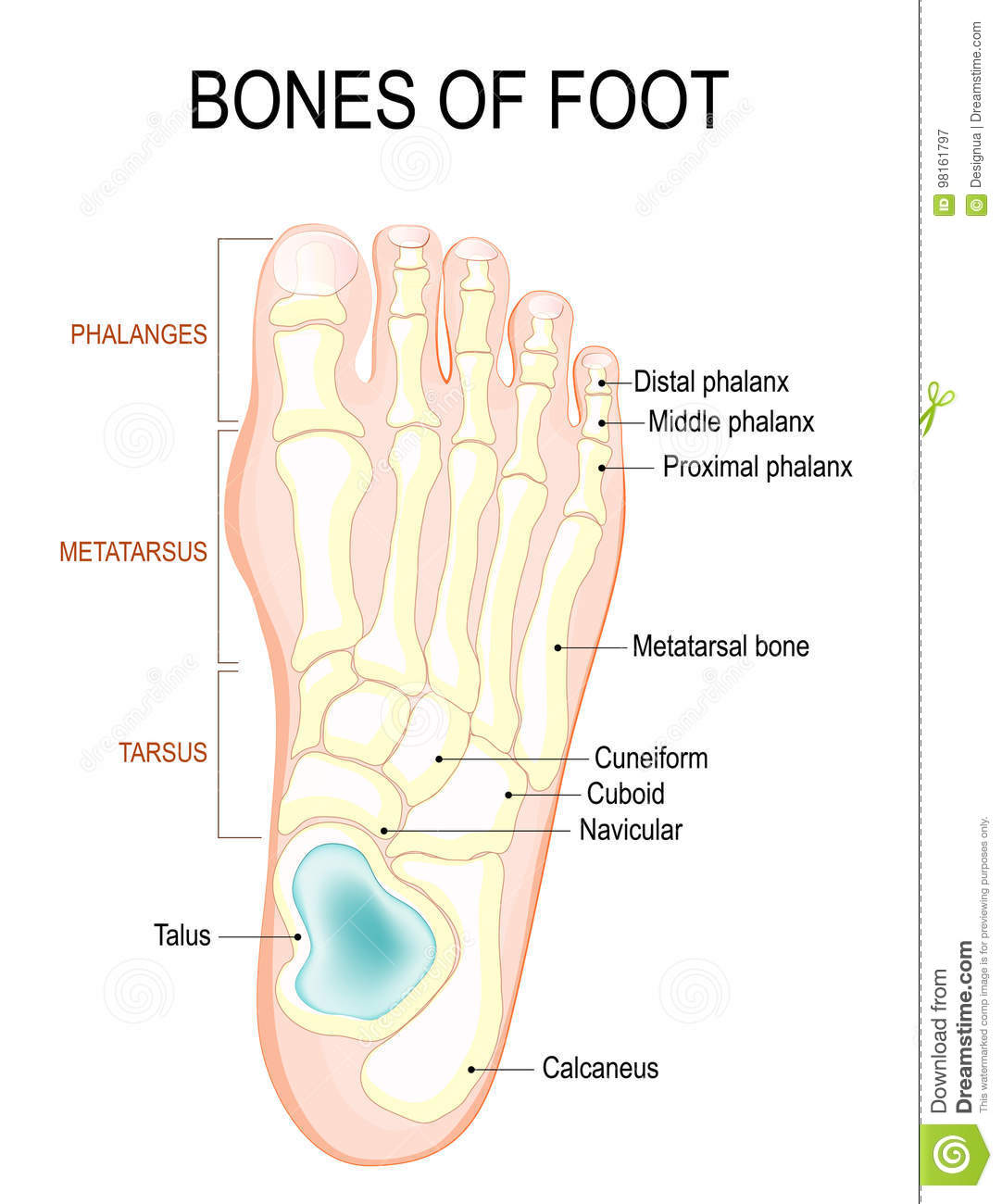 Bones Of Foot Stock Vector Illustration Of Healthy Bones 98161797