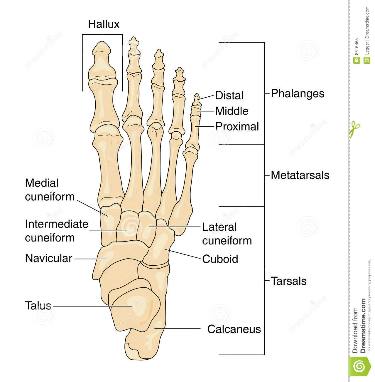 Bones Of The Foot Labeled Stock Vector Illustration Of Phalanges