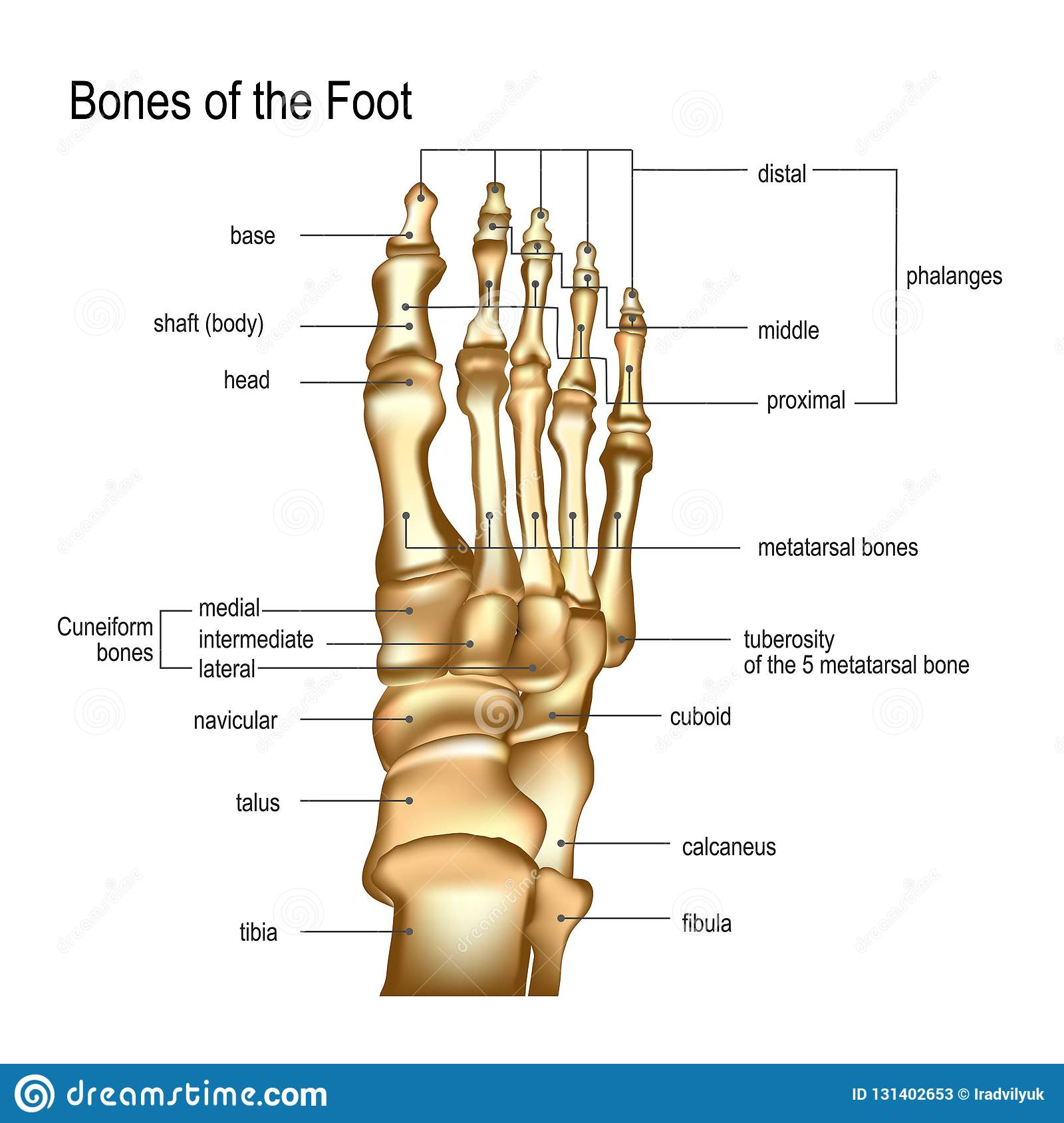 Bones The Of Foot Stock Vector Illustration Of Healthcare 131402653