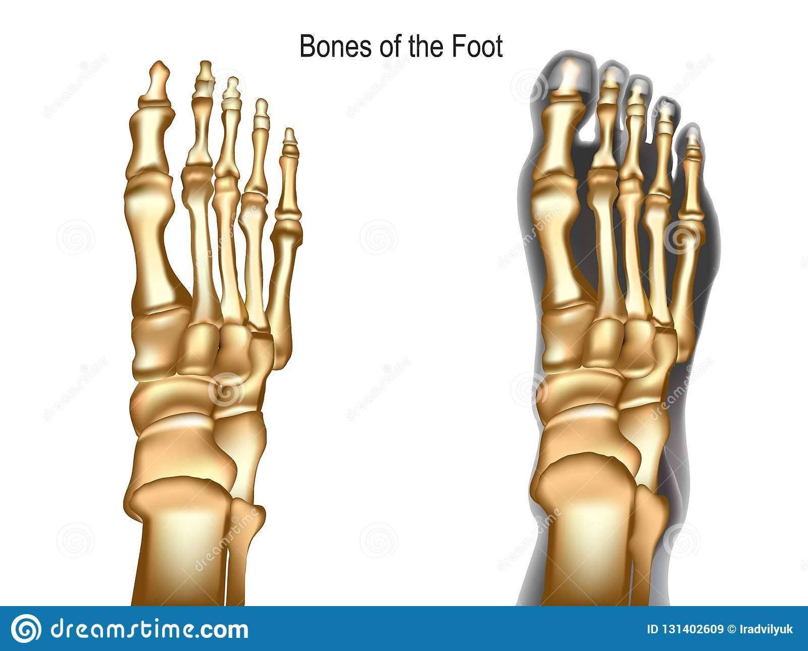 Bones The Of Foot Stock Vector Illustration Of Joint 131402609