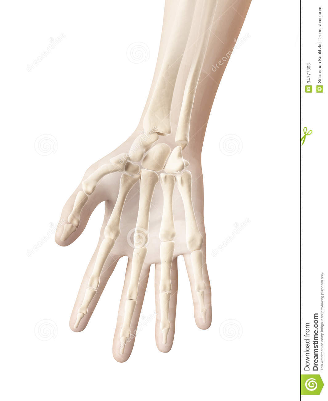 Bones Of The Hand And Fingers Stock Illustration Illustration Of