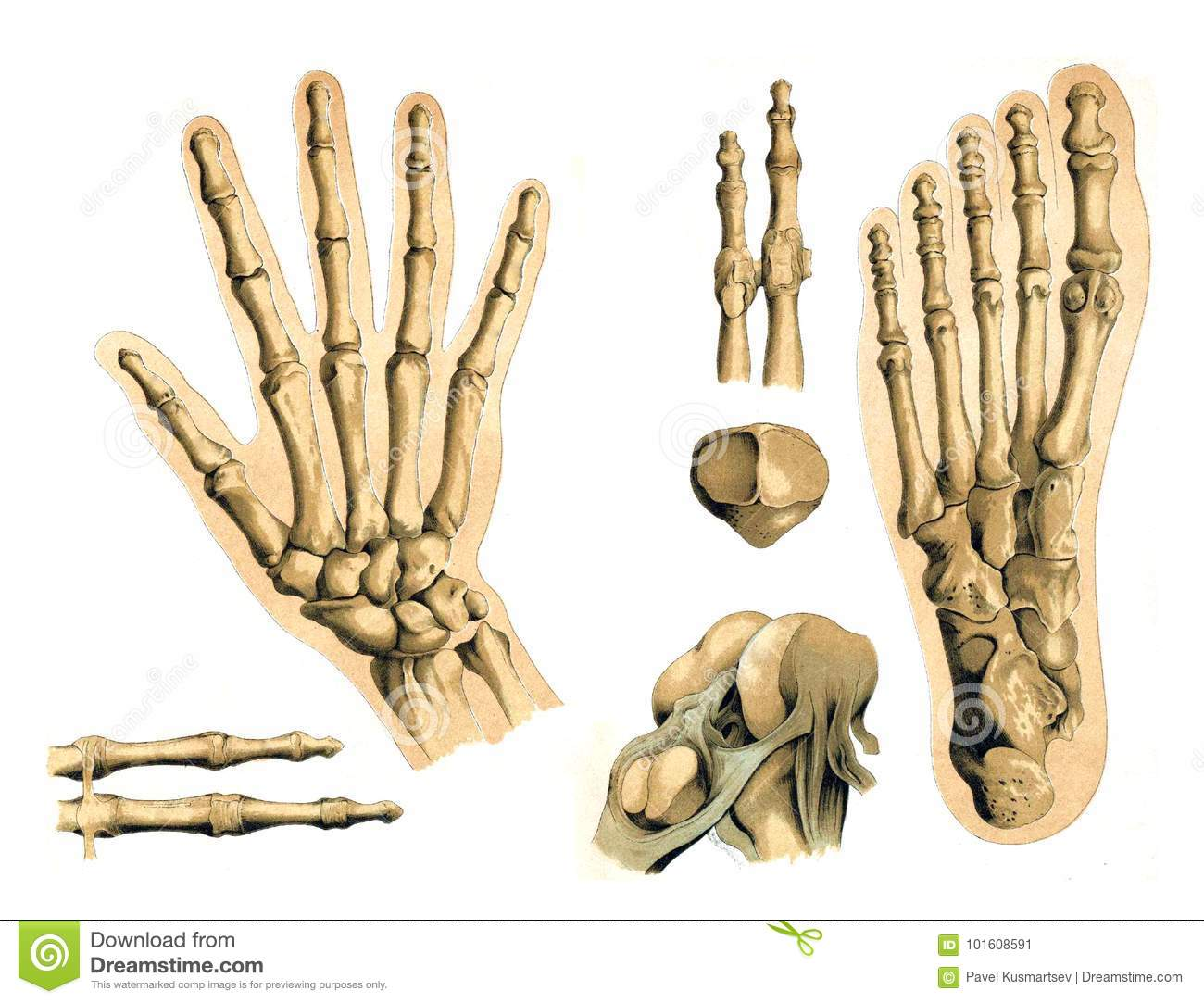 Bones Of The Hand And Foot Of Man. Editorial Photo - Illustration of ...