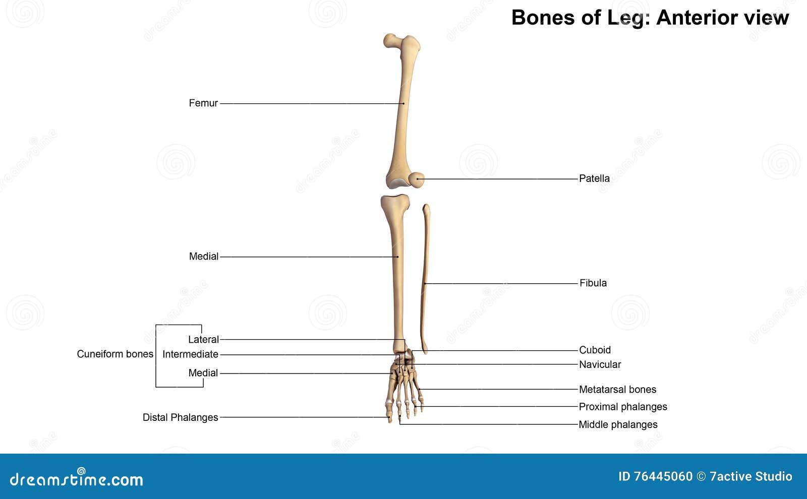 Bones of Leg Anterior view