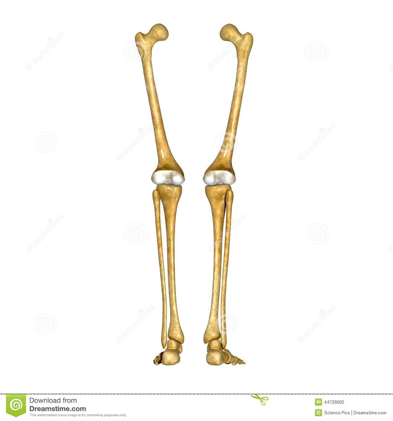 Bones Of Leg And Foot Stock Photo Image Of Tibia Fibula 44729000