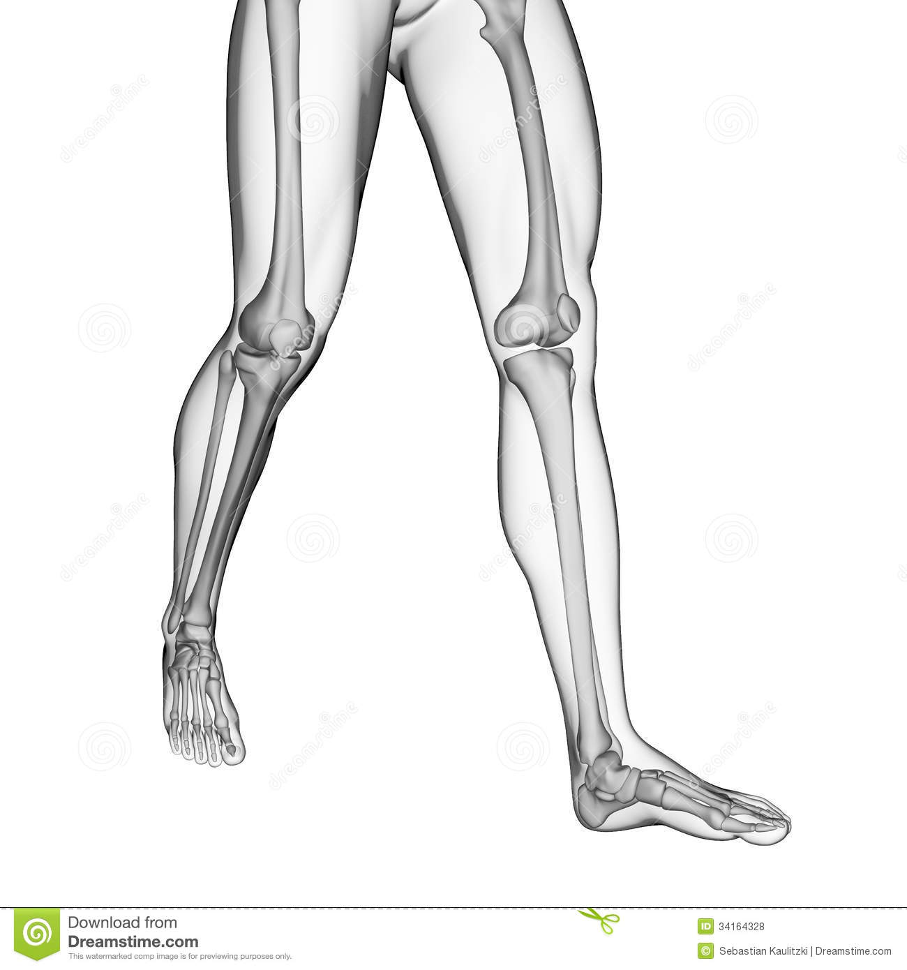 Bones Of The Legs Stock Illustration Illustration Of Knee 34164328