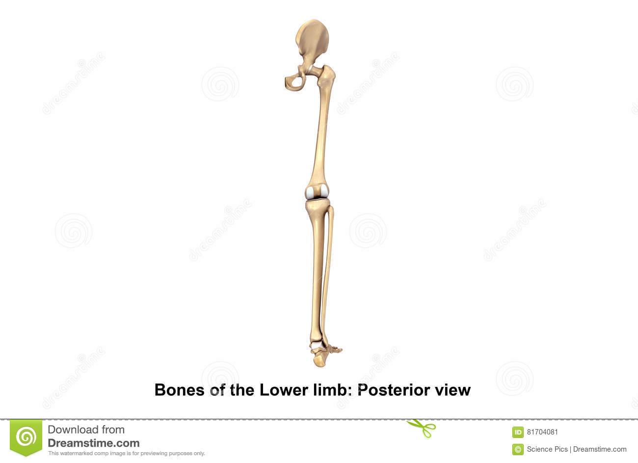 Bones of the Lower limb Posterior view