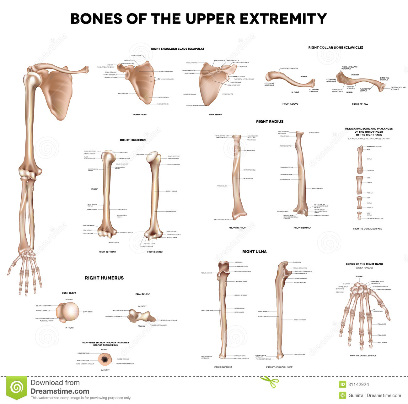 Bones Of The Upper Extremity Stock Vector Illustration Of Fingers