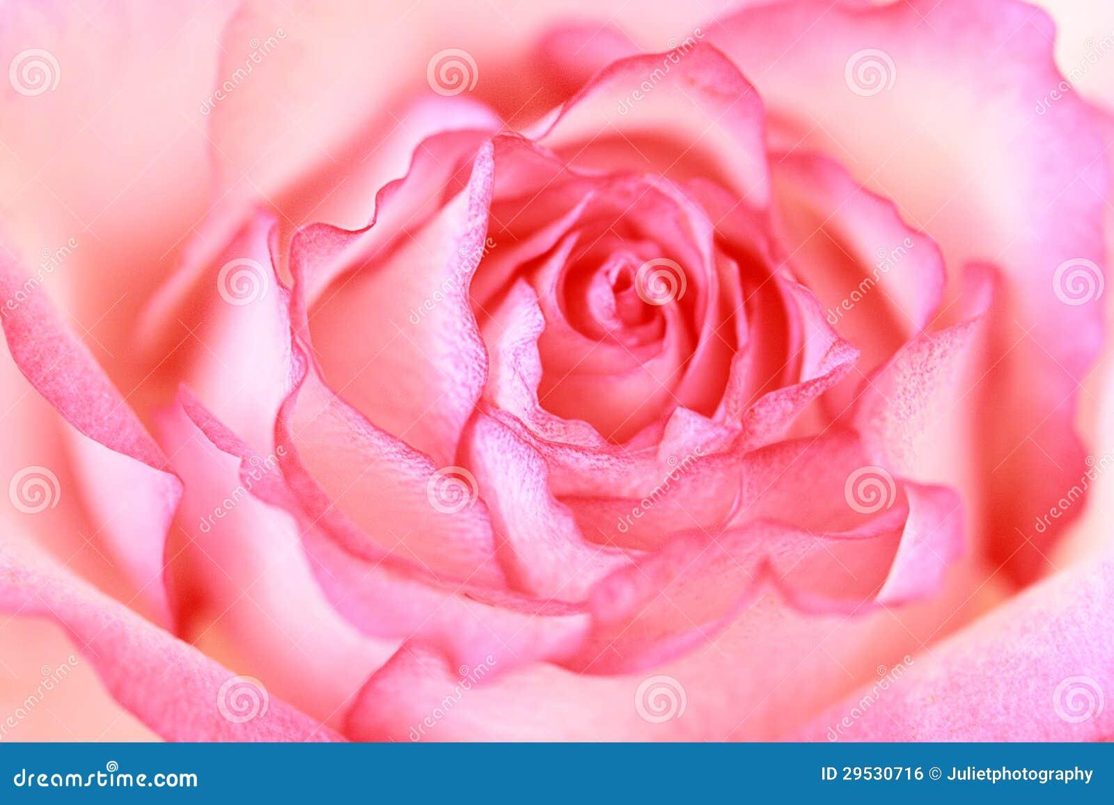 Bonito, fim da rosa do rosa acima
